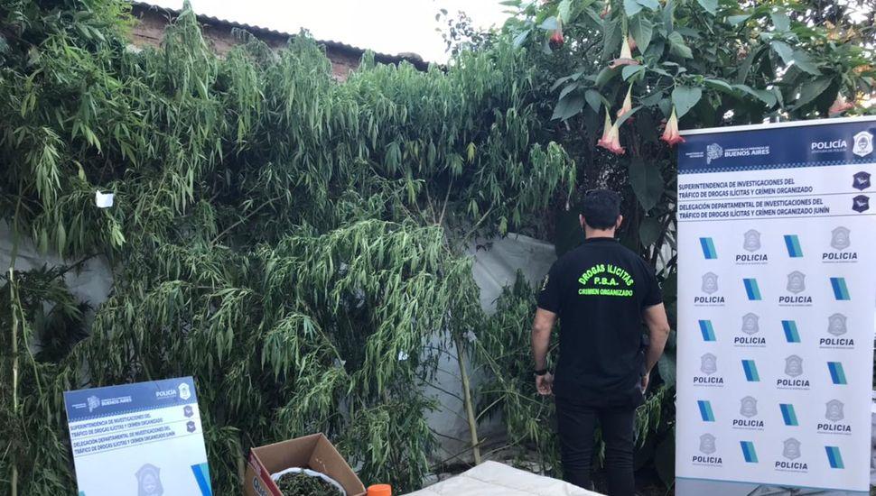 Desbaratan viveros caseros de marihuana en Rojas